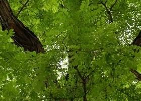 Akazie-Baum