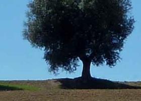 Olivenbaum-3